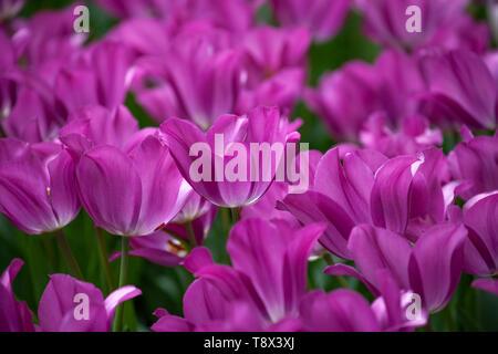 Many purple crimson tulips in the garden close shot. - Stock Image