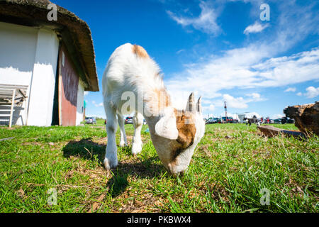 Goat eating grass at a farm in the summer with a beautiful blue sky in the background - Stock Image