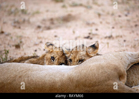 Two Lion Cubs Feeding, one Looking up into the Camera. Balule Nature Reserve, Kruger Park, South Africa - Stock Image