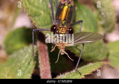Beautiful demoiselle damselfly (Calopteryx virgo) eating a mayfly, UK. - Stock Image