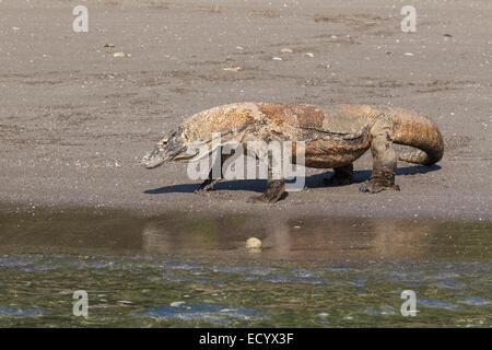 Komodo dragon, Varanus komodensis, Komodowaran, patrolling a beach on Rinca Island, Komodo National Park, Indonesia - Stock Image