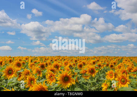 Sunflower field over cloudy blue sky and bright sun lights - Stock Image