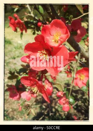 Vibrant red Bokenohana or flowering quince in Spring, with vintage paper frame and painterly texture overlay. - Stock Image