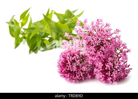 Red valerian flowers isolated on white background - Stock Image