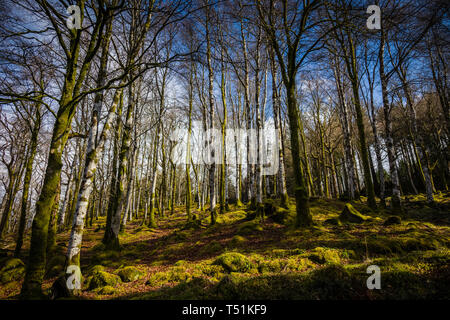 Birch woodland in Spring, Barcaldine, Oban, Scotland. - Stock Image