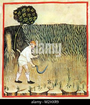 'Tacuinum Sanitatis', Rye - Stock Image