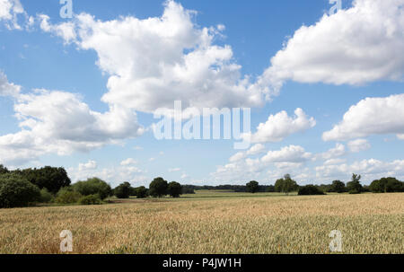 Fluffy white cumulus clouds above wheat field rolling countryside summer landscape, Sutton, Suffolk, England, UK - Stock Image