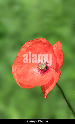 Single red Common Poppy flower (Papaver rhoeas) flowering in Summer in the UK, in portrait with copy space. Red Poppy with copyspace. - Stock Image
