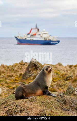 France, French Southern and Antarctic Territories (TAAF), Amsterdam island, Subantarctic fur seal (Arctocephalus tropicalis) and the Marion Dufresne (supply ship of French Southern and Antarctic Territories) at anchor in front of the island - Stock Image
