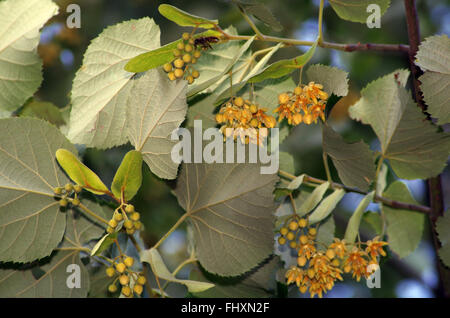 Linden branch with blooming flowers and leaves. - Stock Image