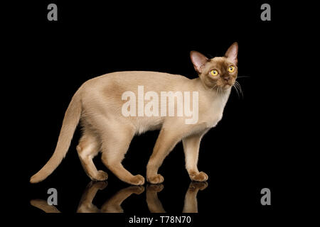 Cute Burmese Cat Standing and Looks Curious isolated on black background, side view - Stock Image