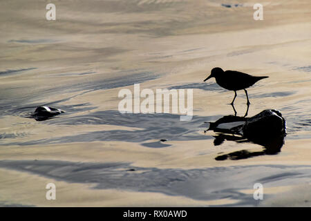 Silhouette of a sanderling (Calidris alba) small wading birds searching for food at the waters edge in Agadir, Morocco, Africa - Stock Image
