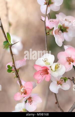 Chaenomeles speciosa Toyo-Nishiki -  Flowering Quince - February - Stock Image