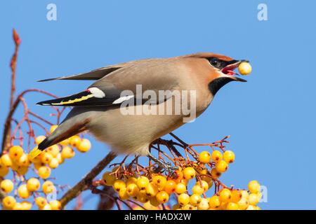 A single Waxwing feeding on a cluster of yellow berries on a rowan tree against a clear blue sky - Stock Image