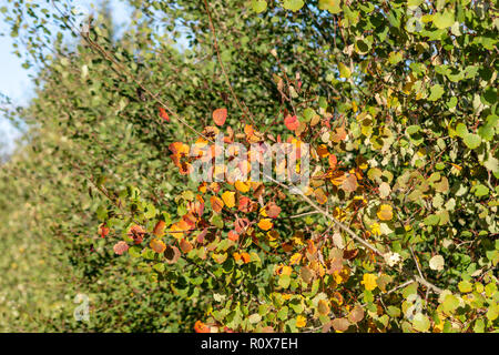 Bright coloured foliage on a sunny autumn day with the reds and golds against greens.  Chippenham Wiltshire UK - Stock Image