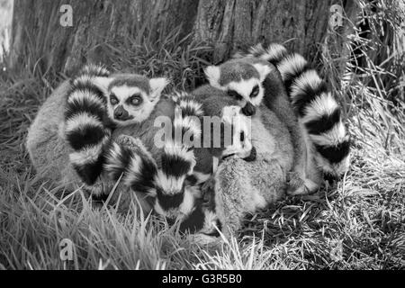 Black and white image of a group of sleeping Ring Tailed Lemurs. - Stock Image