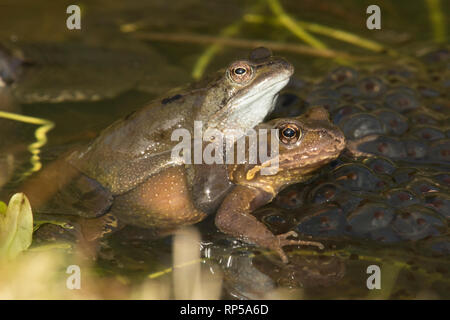 Common Frog, Rana temporaria, Male and female mating in frog spawn, pair in amplexus, spawning, February, garden pond - Stock Image