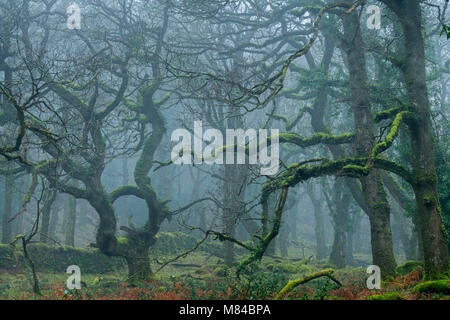Mossy Dartmoor woodland in morning fog, Okehampton, Devon, England. Winter (February) 2018. - Stock Image