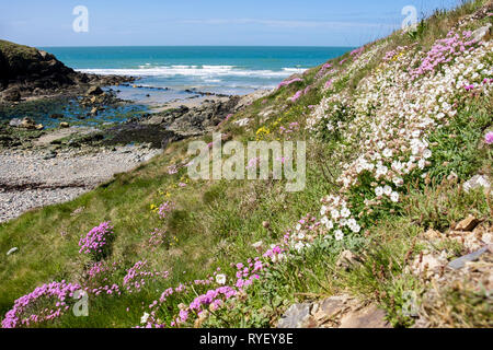 Sea Pink or Thrift (Armeria maritima) and Sea Campion (Silene maritima) flowers growing beside the coast path around Cable Bay / Porth Crugmor, Isle o - Stock Image