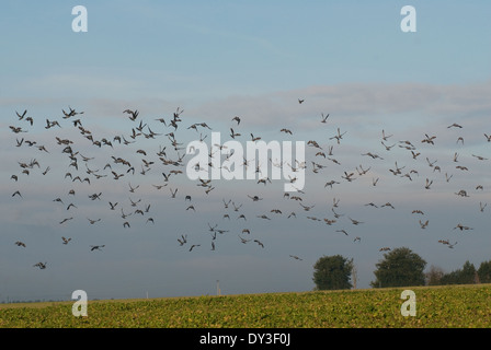 Flock of Wood-pigeons (Columba palumbus) taking of from winter turnip field in Britain - Stock Image