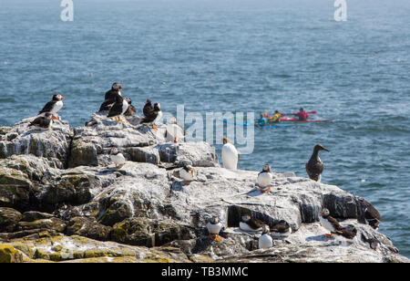 Puffins and Common Guillemots, on breeding cliffs on the Farne Islands, Northumberland, UK with sea kayakers. - Stock Image