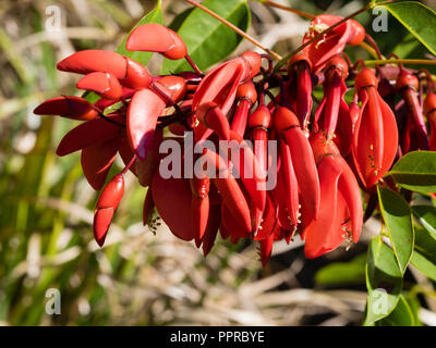 Red, waxy pea flowers of the tender to half hardy cockspur coral tree, Erythrina crista-galli - Stock Image