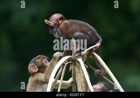 Young Barbary macaque or Barbary ape (Macaca sylvanus) climbing to the top of a tree, another one facing him - Stock Image