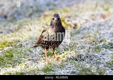 Hailsham, UK. 21st Jan 2019.UK weather. Starlings peck for food on a frost covered lawn this morning.Birds will struggle to find food in the cold weather predicted this week. Hailsham, East Sussex, UK. Credit: Ed Brown/Alamy Live News - Stock Image