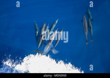 Pantropical Spotted Dolphin (Stenella attenuata) coming over for bowriding in a large pod - Stock Image
