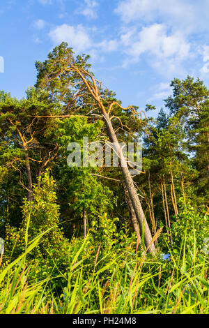 Forest in the sun in Latvia - Stock Image