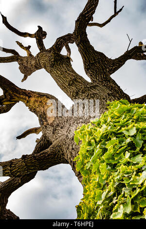 Colour photograph of dead rotting tree with Ivy on lower trunk, taken underneath tree, looking straight up. - Stock Image