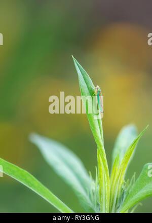 Leaf hopper Graphocephala fennahi on a green leaf - Stock Image
