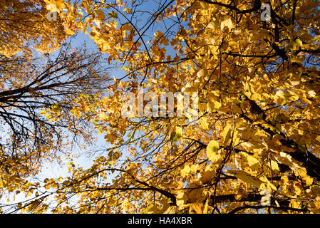 Yellow Autumn Trees and Leaves - Stock Image