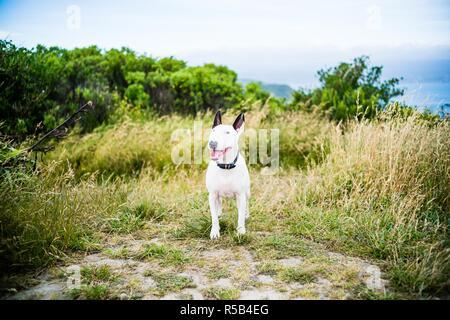 Bull terrier. - Stock Image