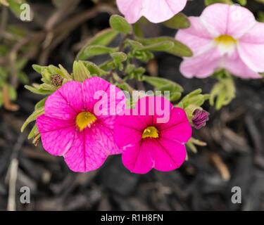 Calibrachoa, a flower variety that is pentunia-like. Kansas, USA. - Stock Image