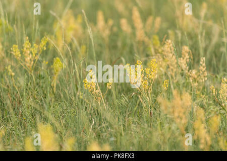 Detail of Yellow Wheat Grass in Summer Field - Stock Image