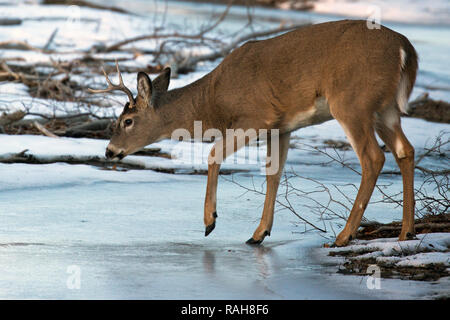 White-tailed Deer buck (Odocoileus virginianus) walking across frozen stream - Stock Image