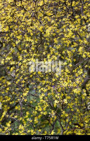 Corokia cotoneaster flowers. - Stock Image
