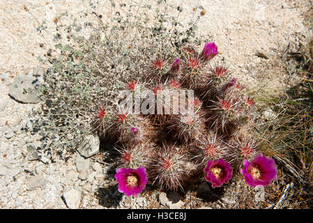 Flowering hedgehog cactus (Echinocereus engelmannii) - Stock Image