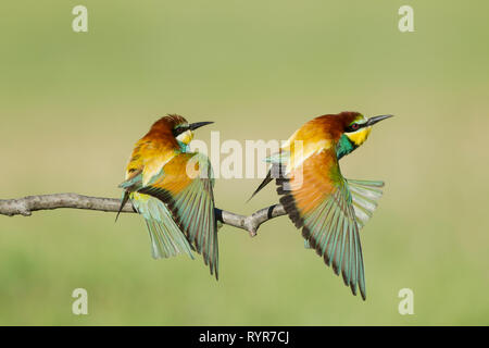 Male (left) and female right)  European bee-eaters, Latin name Merops apiaster, perched on a branch in warm lighting with wing and tail feathers sprea - Stock Image
