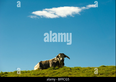 photograph of longhorn bull resting on sunny day - Stock Image