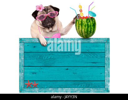 bikini babe pug dog with blue vintage wooden beach sign and watermelon cocktail, isolated on white background - Stock Image