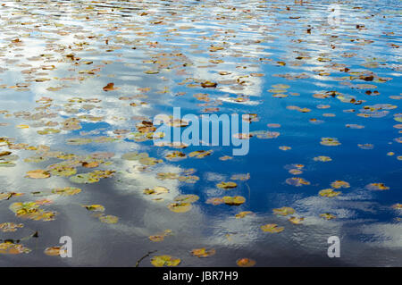 Lake District, United Kingdom, Lilies on on lake in Lake District. - Stock Image