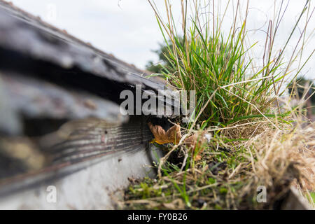 Large clump of grass growth in the rainwater gutter of a house in the UK, blocking the water path, likely to cause - Stock Image