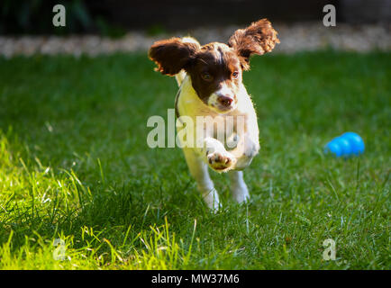 A puppy English springer spaniel runs and leaps playing in the garden with its ears flapping. - Stock Image