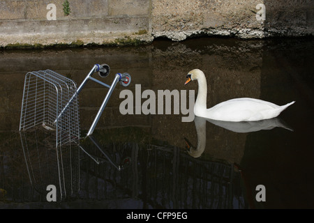 Mute swan approaching shopping trolley dumped in river - Stock Image