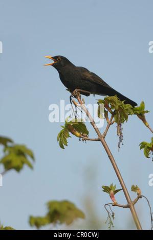 Blackbird (Turdus merula) male singing from tree top in spring. Cambridgeshire, England. April. - Stock Image