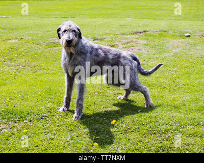 Irish Wolhound is  a historic sighthound breed from ireland.Its size inspired mythology,literature and movies. - Stock Image