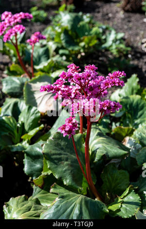 Bergenia morgenrote, saxifragaceae, morning red. - Stock Image