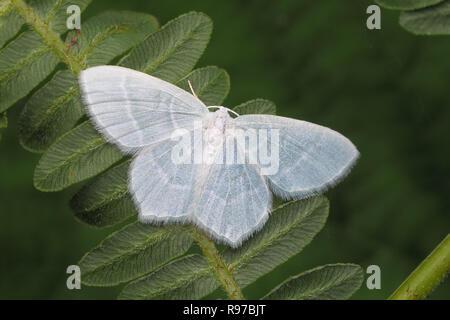 Little Emerald moth (Jodis lactearia) perched on bracken. Tipperary, Ireland - Stock Image